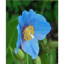 Flower - Meconopsis Baileyi - 50 Seeds