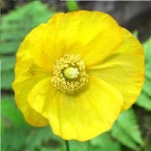 Flower - Welsh Poppy - Meconopsis cambrica - 50 Seeds