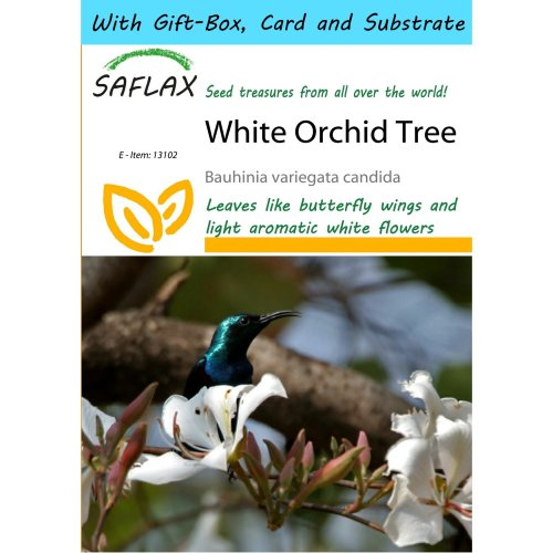Saflax Gift Set - White Orchid Tree - Bauhinia Variegata Candida - 5 Seeds - with Gift Box, Card, Label and Potting Substrate