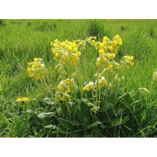 Wild Flower - Cowslip - Primula Veris - 500 Seeds