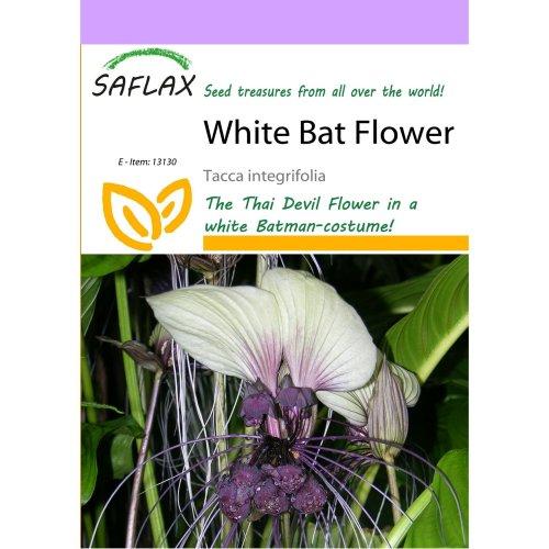 Saflax  - White Bat Flower - Tacca Integrifolia - 10 Seeds