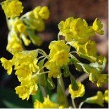 Flower - Primula Veris - Hose in Hose Cowslip - 20 Seeds