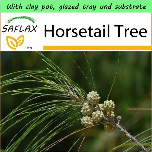 SAFLAX Garden to Go - Horsetail Tree - Casuarina - 200 seeds