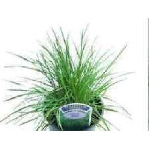 Grass - Blue Hair Grass - Koeleria Glauca - 1000 Seeds