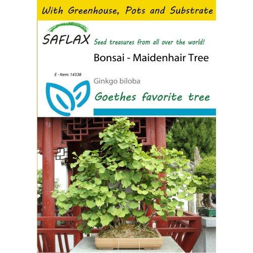 Saflax Potting Set - Bonsai - Maidenhair Tree - Ginkgo Biloba - 4 Seeds - with Mini Greenhouse, Potting Substrate and 2 Pots