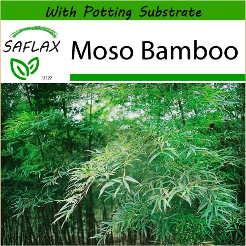 SAFLAX  - Moso Bamboo - Phyllostachys pubescens - 20 seeds - With potting substrate for better cultivation