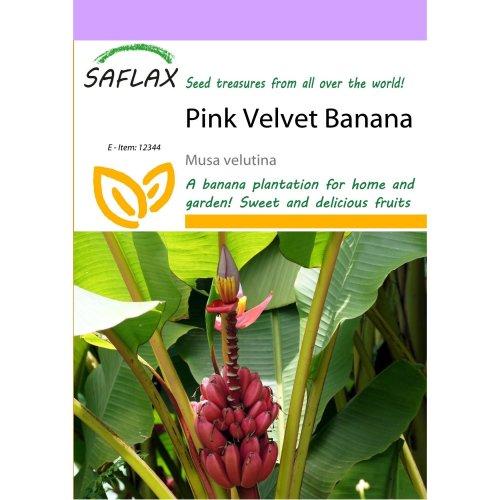 Saflax  - Pink Velvet Banana - Musa Velutina - 8 Seeds