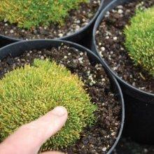 Flower - Scleranthus Uniflorus - Knawel Cushion - 150 Seeds