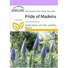 Saflax  - Pride of Madeira - Echium Fastuosa - 100 Seeds