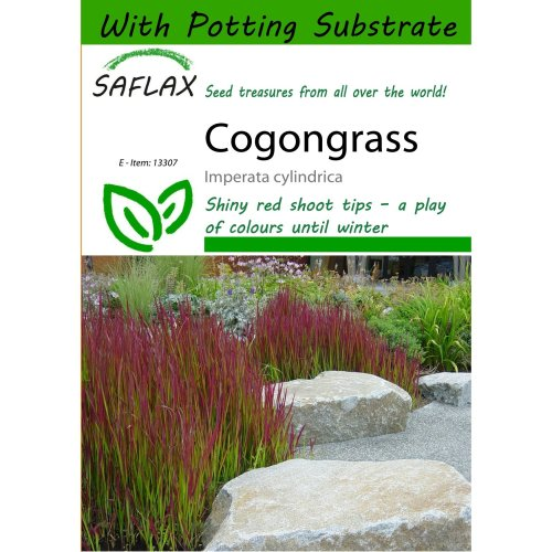 Saflax  - Cogongrass - Imperata Cylindrica - 50 Seeds - with Potting Substrate for Better Cultivation
