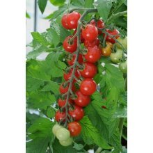 Vegetable - Tomato - Sweet Aperitif - 5 Seeds