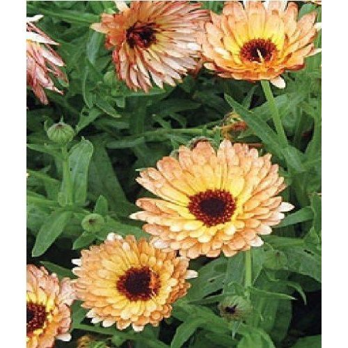 Flower - Calendula Officinalis - Pot Marigold - Indian Prince - 50 Seeds