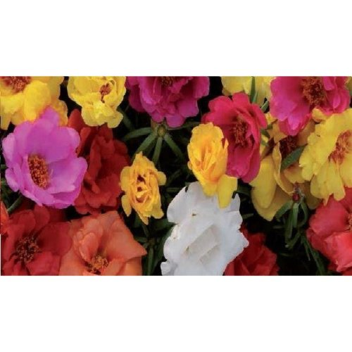 Flower - Portulaca - Happy Hour Mix - 10 Seeds