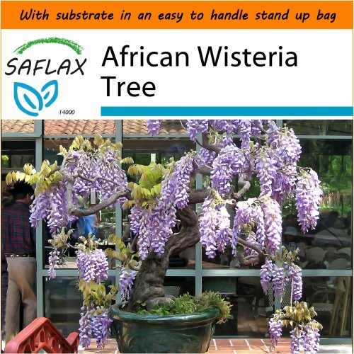 SAFLAX Garden in the Bag - Bonsai - African Wisteria Tree - Bolusanthus - 15 seeds